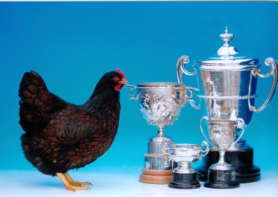 Best of Breed at the National Poultry Show & Federation Championship Show in 2007, and Best Utility at the National Poultry Show 2007.