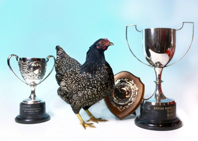 Reserve Champion Barnevelder, Best Exhibition Female, Best Opposite Sex, and Best Any Other Colour at the National Poultry Show 2015.